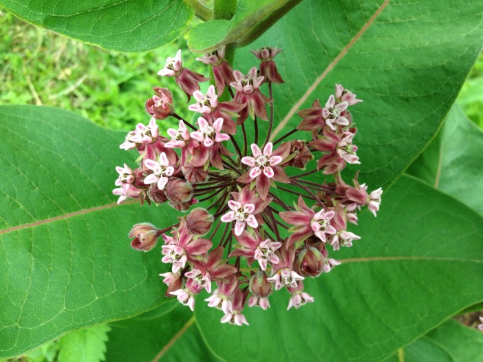 Milkweed Flowers, June 2015