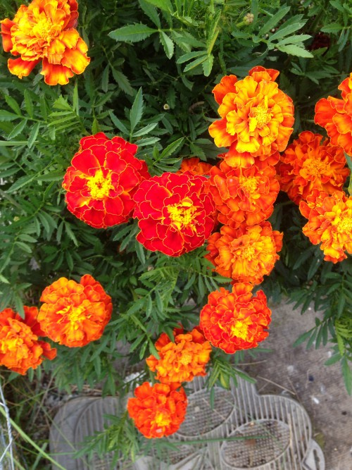 French Marigolds In A Vegetable Garden From Every Angle Photo Challenge Ontheland