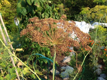 Mature Dill Seed Head