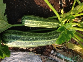 Hidden Zucchini Before Harvest