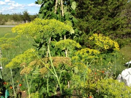 Tall  Maturing Dill Plants