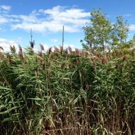 Tall marsh grasses