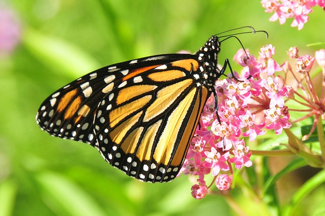 Monarch Butterfly--CCO Public Domain