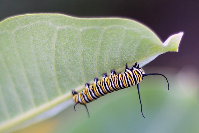 Monarch Caterpillar on Milkweed Leaf--CCO Public Domain