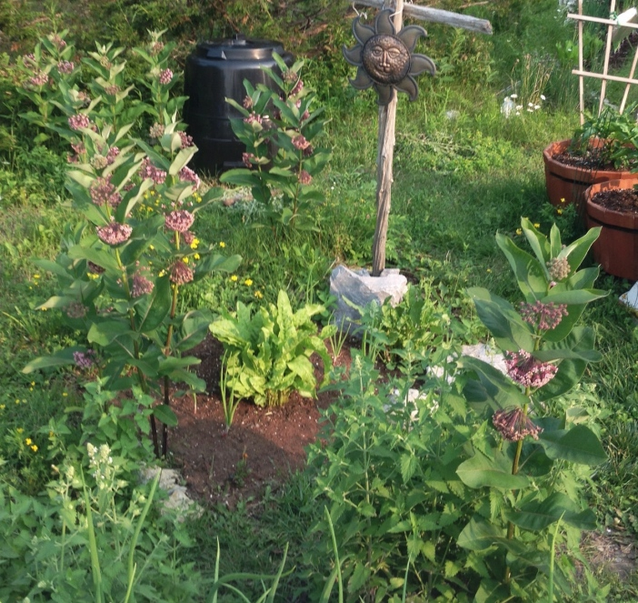 Milkweed Garden, July 6, 2015