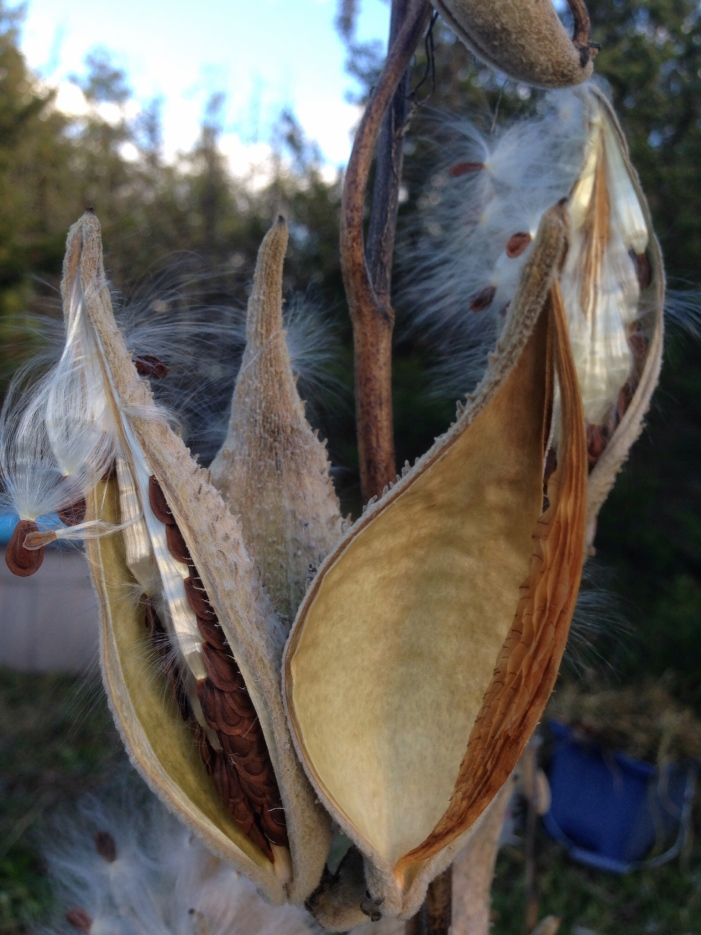 Empty Milkweed Pod, October 2015