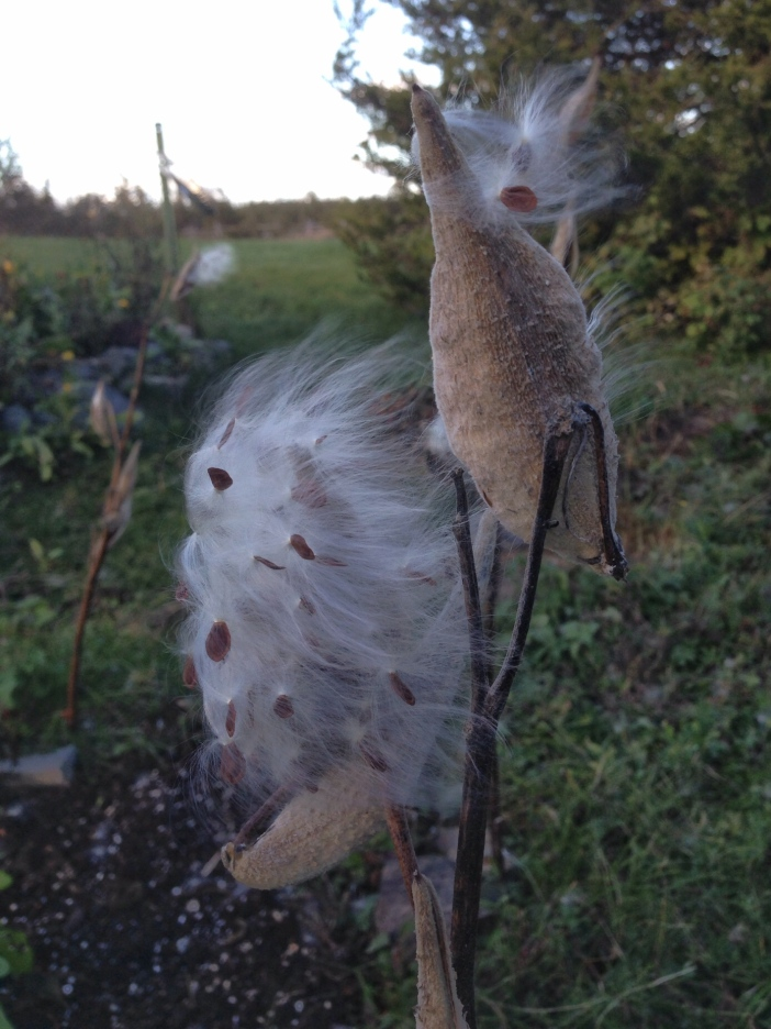 Milkweed Blowing in the Wind, October 2015