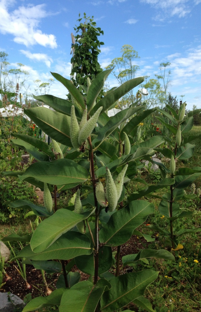 Milkweed Pods, August 13, 2015