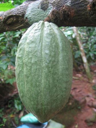 cocoa-bean-63177_640.jpg
