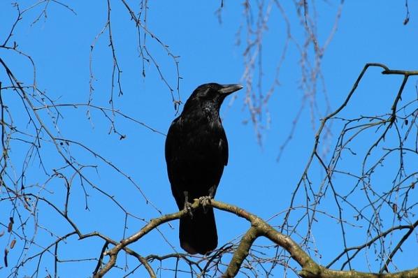 crow-284492_640.jpg