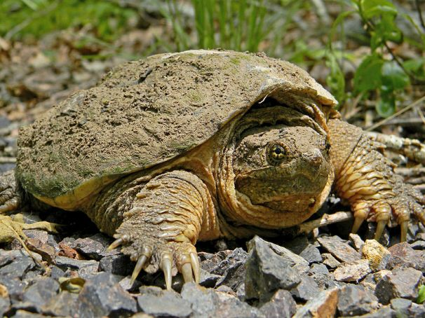 800px-Common_Snapping_Turtle_Close_Up.jpg