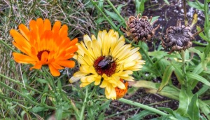 Calendula October 13, 2017 by Ontheland.blog